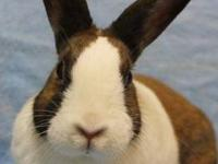 Dutch - Amber - Small - Adult - Female - Rabbit Hello!