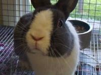 Dutch - Bun Bun - Small - Young - Female - Rabbit 1 yr