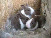 Pure bred dutch rabbits!!!! boys and girls available.