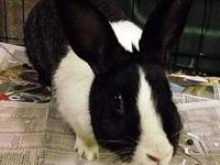 Dutch - Charlotte - Medium - Baby - Female - Rabbit Hi