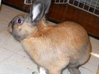 Dutch - Chase - Medium - Young - Female - Rabbit