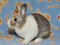 Dutch - Colton - Medium - Baby - Male - Rabbit Colton
