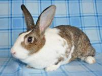 Dutch - Georgia - Medium - Young - Female - Rabbit