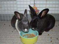 Dutch - Gert And Whitefoot - Small - Adult - Female -