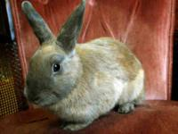 Dutch - Ghost - Small - Young - Female - Rabbit ADOPT