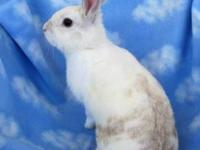 Dutch - Lolita - Medium - Young - Female - Rabbit