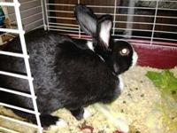Dutch - Marie - Small - Young - Female - Rabbit Marie
