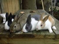 Missouri cottontail kits ready 11/25/12, $12 each.