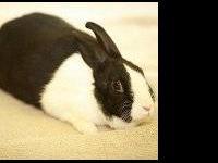 Dutch - Parker - Small - Adult - Female - Rabbit
