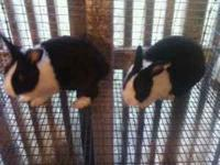 Great pair of Dutch Breeding Rabbits. Price $100.00