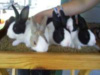 We have 5 Dutch bucks for sale they are about 8-9 weeks