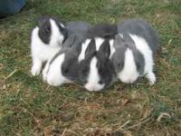 nice friendly dutch bunnys 1 adult male 4 youngsters