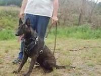 Dutch Shepherd Puppies Colors, blue, black brindle,