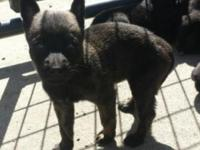 Awsome Dutch Shepherd puppies for sale ... we have 4