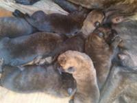 we have some dutch shepherds puppies on the way that