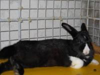 Dutch - Simba - Small - Young - Male - Rabbit Hi,