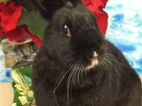 Dutch - Sophie - Medium - Young - Female - Rabbit