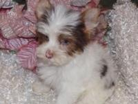 Dutch is a chocolate & white PARTI male yorkie. He is