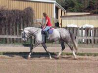 Description Lovely 17 plushand grey mare, 9 years old,