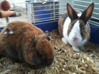 Dutch - Wylie - Medium - Young - Male - Rabbit Hey! I