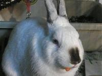 Dwarf - Clyde - Small - Adult - Male - Rabbit