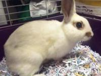 Dwarf - Dallas - Small - Young - Male - Rabbit Shelter