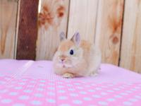 We have a purebred orange netherland dwarf girl