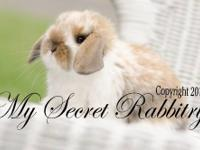We have some beautiful Holland lop baby bunnies.