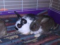I have three lop mix bunnies for sale. The mother is a