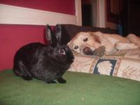 Dwarf - Mr. Hops - Small - Young - Male - Rabbit This