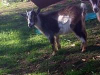 Miniature mule. Spoiled rotten. Seven years old. Has
