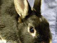Dwarf - Norton - Small - Young - Male - Rabbit Norton