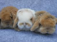 baby dwarf bunnies, we have holland lop bucks and does