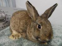 Dwarf - Spencer - Small - Young - Male - Rabbit Hi