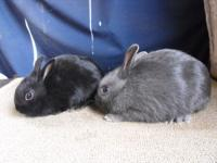 2 Pet Dwarf Rabbits available both bucks. One Blue and