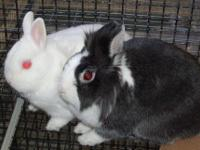 Dwarf - Whitney - Small - Baby - Female - Rabbit
