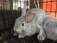 Beautiful rare chinchilla colour in a dwarf bunny! Buck