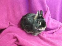 Dwarf - D.j. - Small - Adult - Male - Rabbit Little DJ