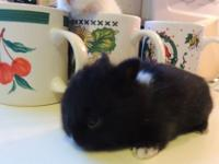 Dwarf Hoto Bunnies For Sale Will Stay Small