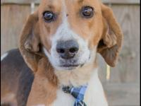 Dylan is a super sweet Foxhound mix who was recently
