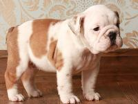 These puppies are Full Bred  english bulldog puppies,