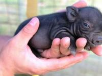 Tiny trotters and oversized ears, our Teacup Piglets