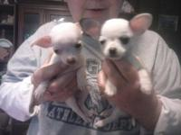 Adorable CKC Chihuahua puppies just in time for an