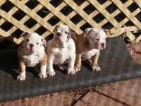 I have two female English Bulldog Puppies Left! They