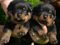 East Coast Rottweiler's Hobby breeder since 1990.