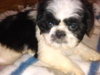 8 week old shih tzus female brown and white male black