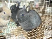 I have 18 Netherland Dwarf Bunnies available for