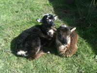 SOME OF THESE BEAUTIFUL SHEEP. OR MAKE AN OFFER FOR THE