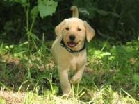 easy-going Labrador Retriever Puppies Male And