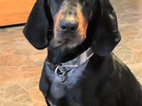 This handsome AKC style Black and Tan Coonhound is 60